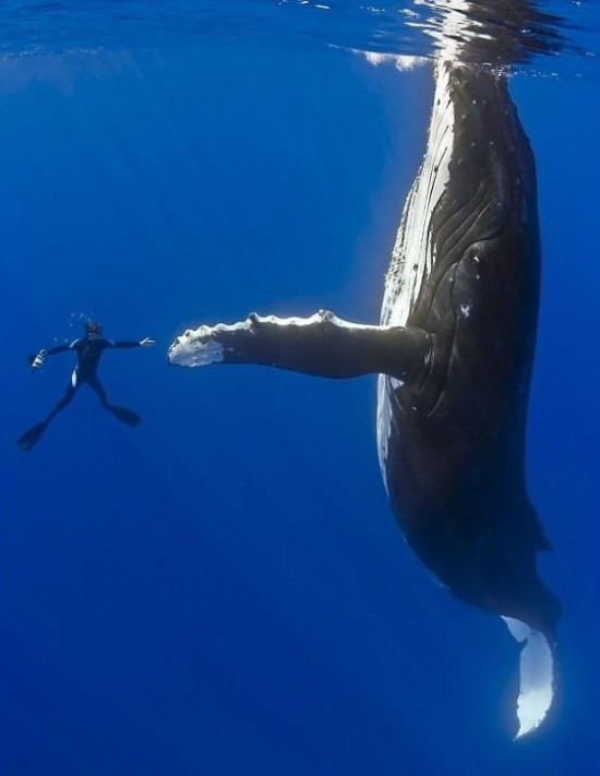 Untangling The Humpback Whale